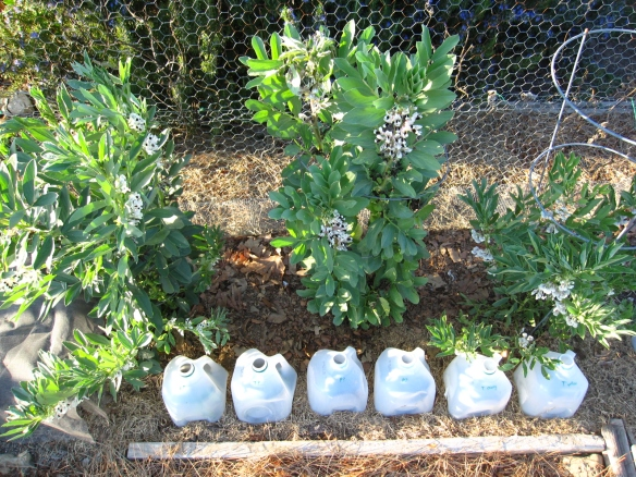 Favas and milk jug greenhouses