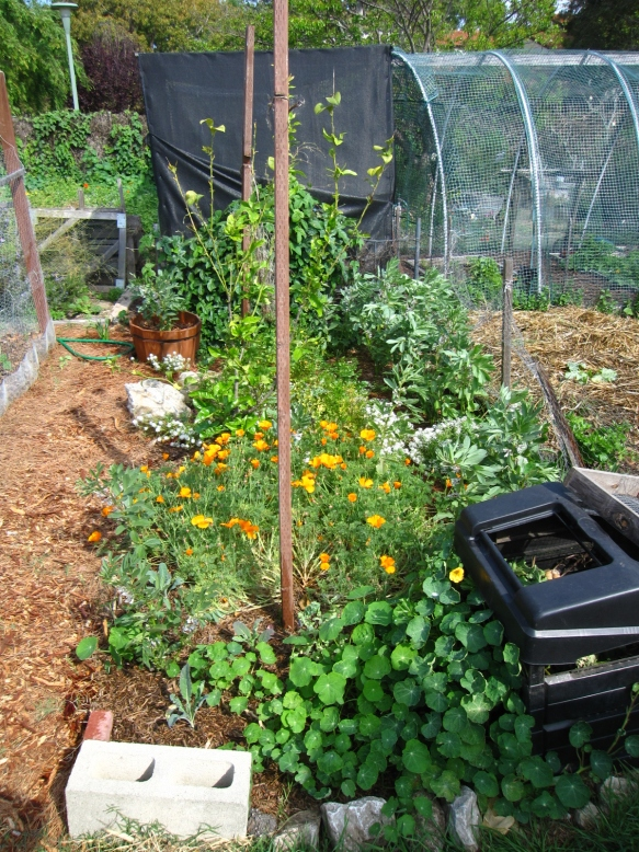 The narrow flower garden and lemon tree, including a small compost container, nasturtiums, kale plants, fava beans, and lots of cilantro.