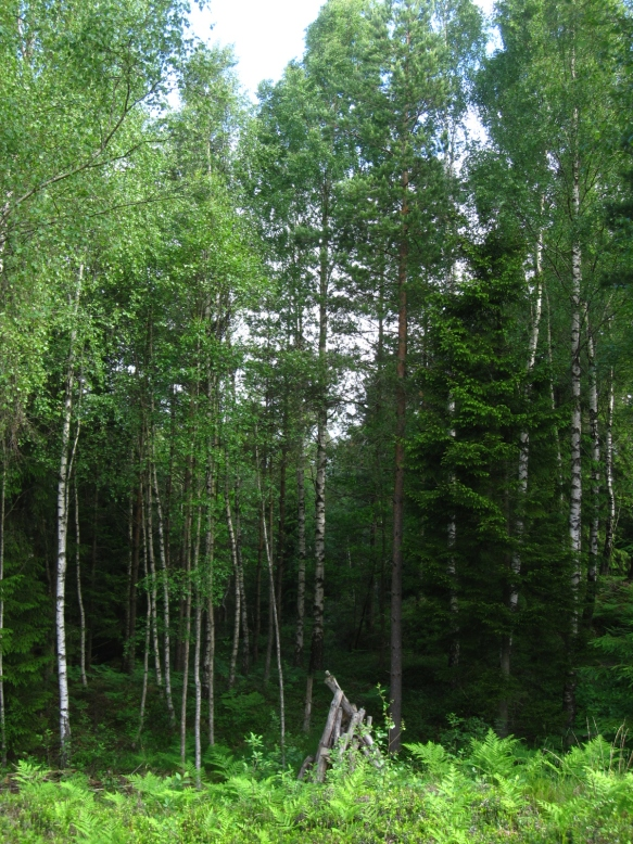 Swedish forest with poplar trees